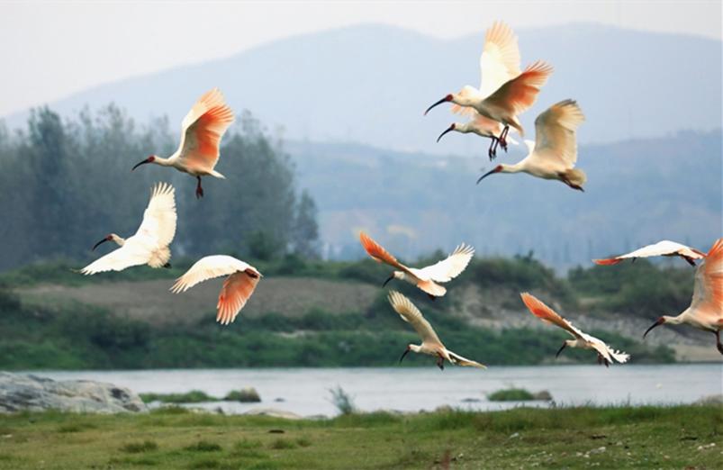 20隻朱䴉放飛秦嶺 全球種群數量已超5000