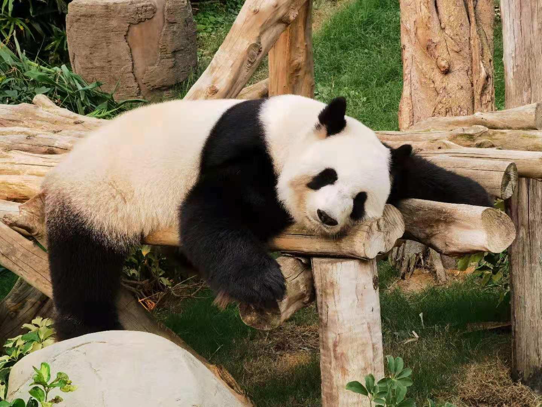 大熊貓懶洋洋地休息。(大公文匯全媒體記者攝)