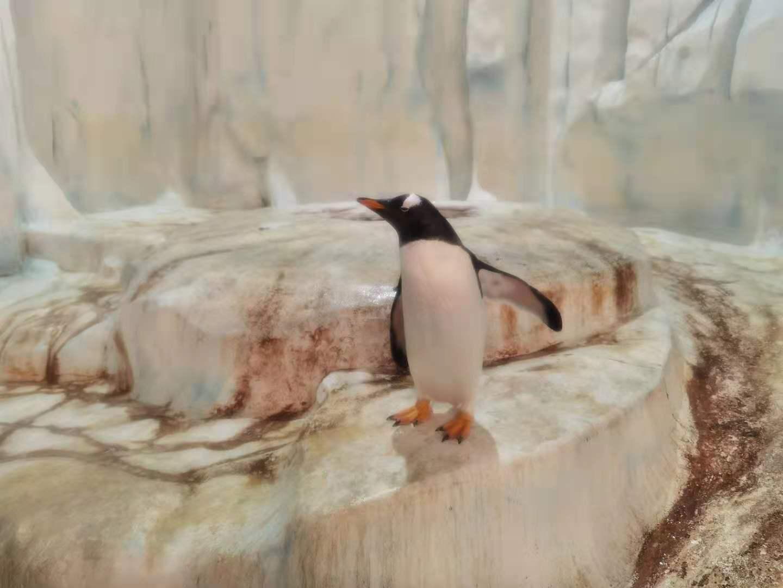 巴布亞企鵝。(大公文匯全媒體記者攝)