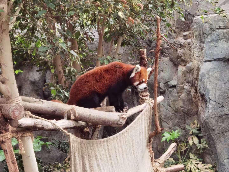 小熊貓。(大公文匯全媒體記者攝)