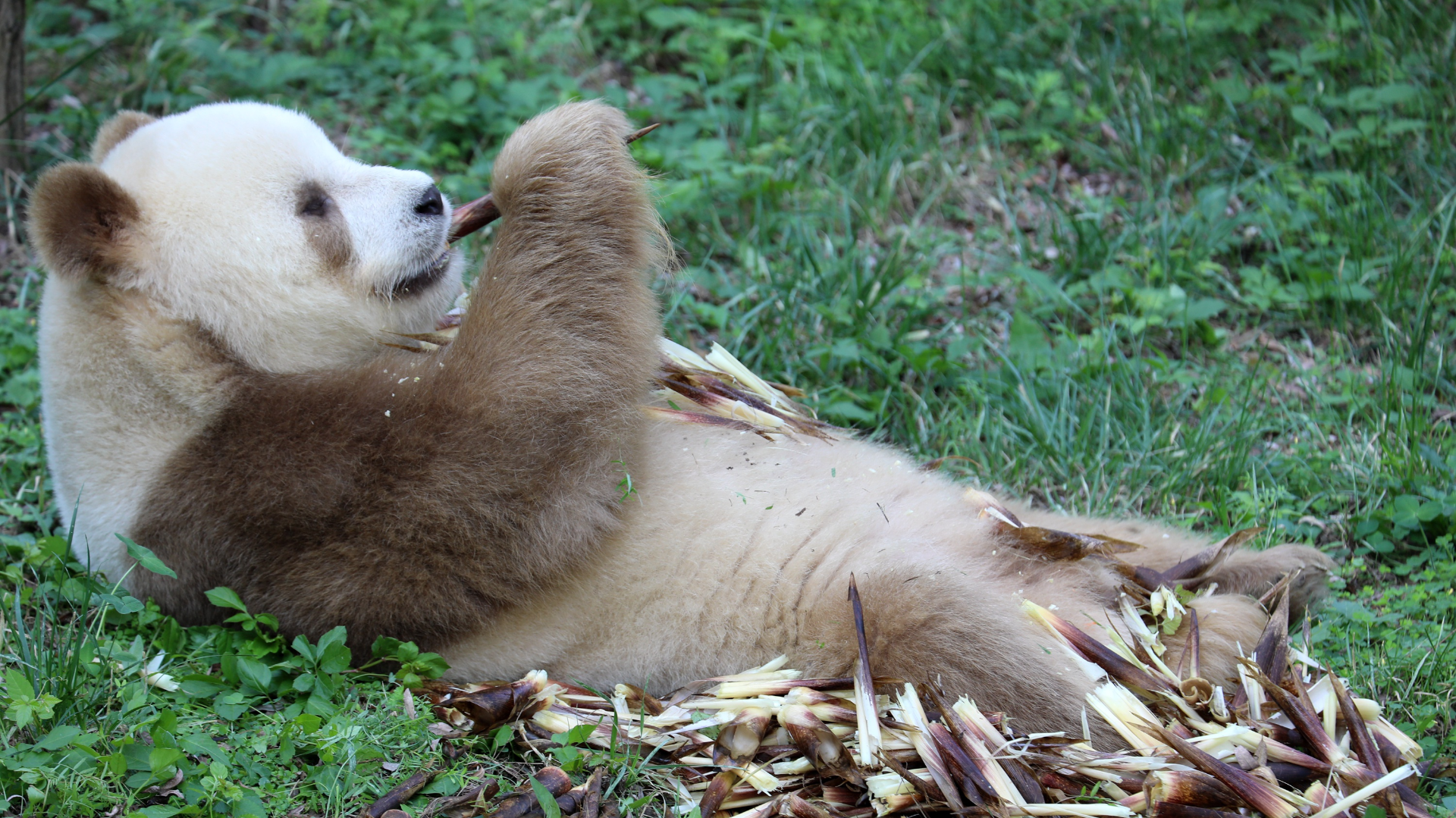 棕色大熊貓「七仔」的幸福生活