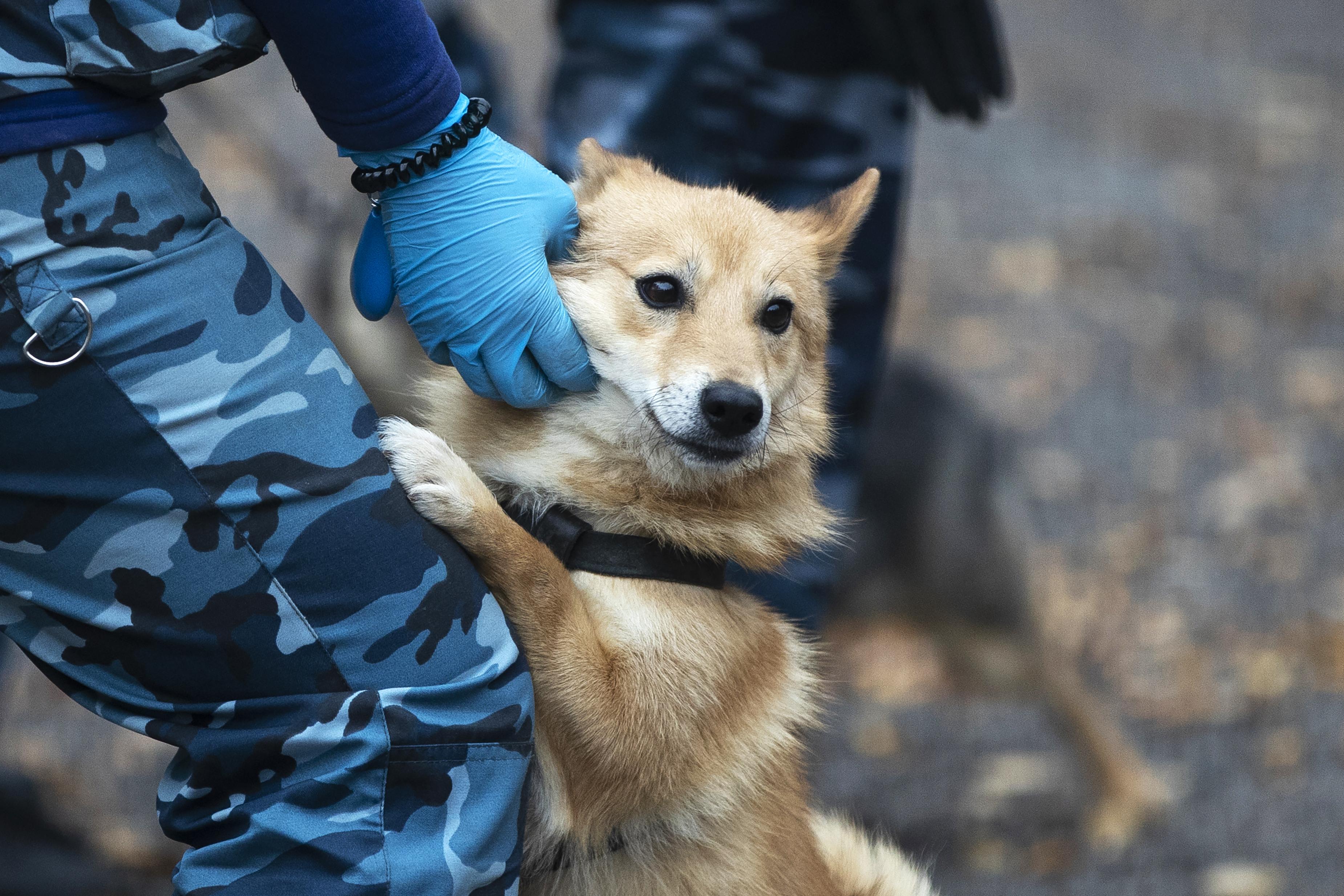 當地時間10月9日,俄羅斯莫斯科,在莫斯科國際謝列梅捷沃國際機場的一次訓練演習中,俄羅斯航空公司犬科部門的一名訓練師訓練一隻嗅探犬,讓它在感染者身上檢測出是否感染新冠病毒。(美聯社)