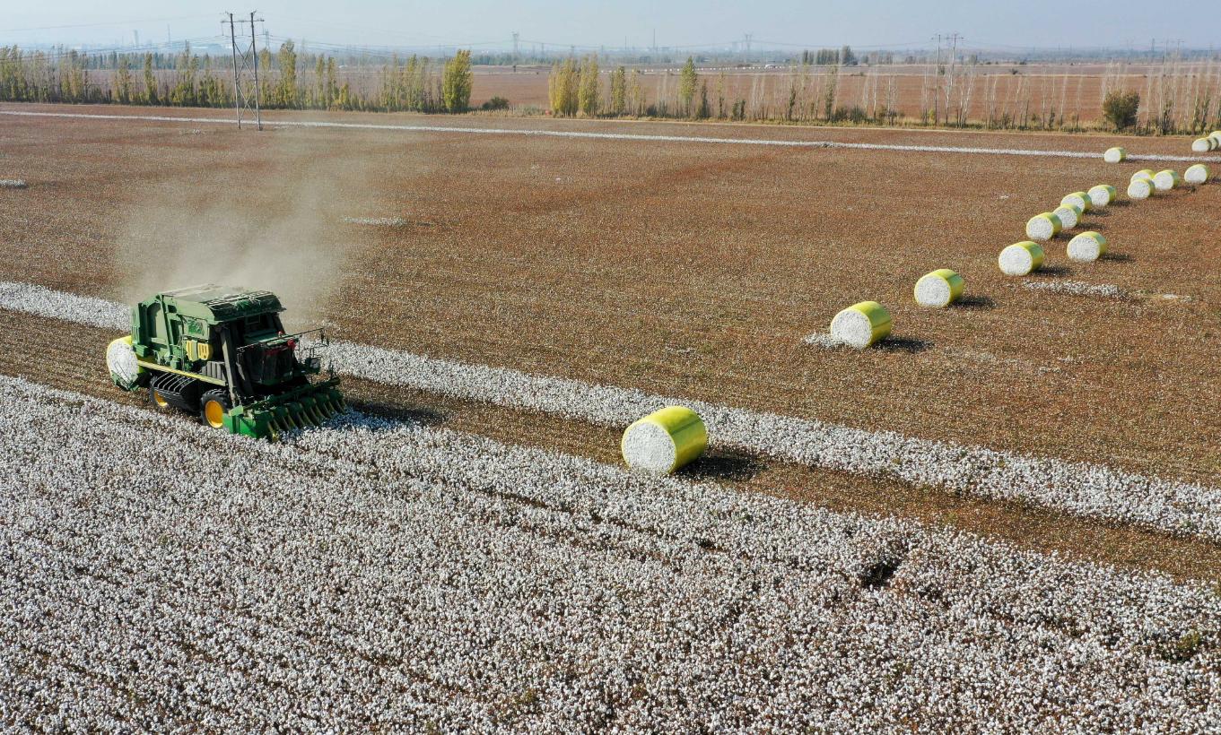10月17日,在新疆瑪納斯縣樂土驛鎮文家莊村,采棉機在棉田里采收棉花(無人機照片)。(新華社)