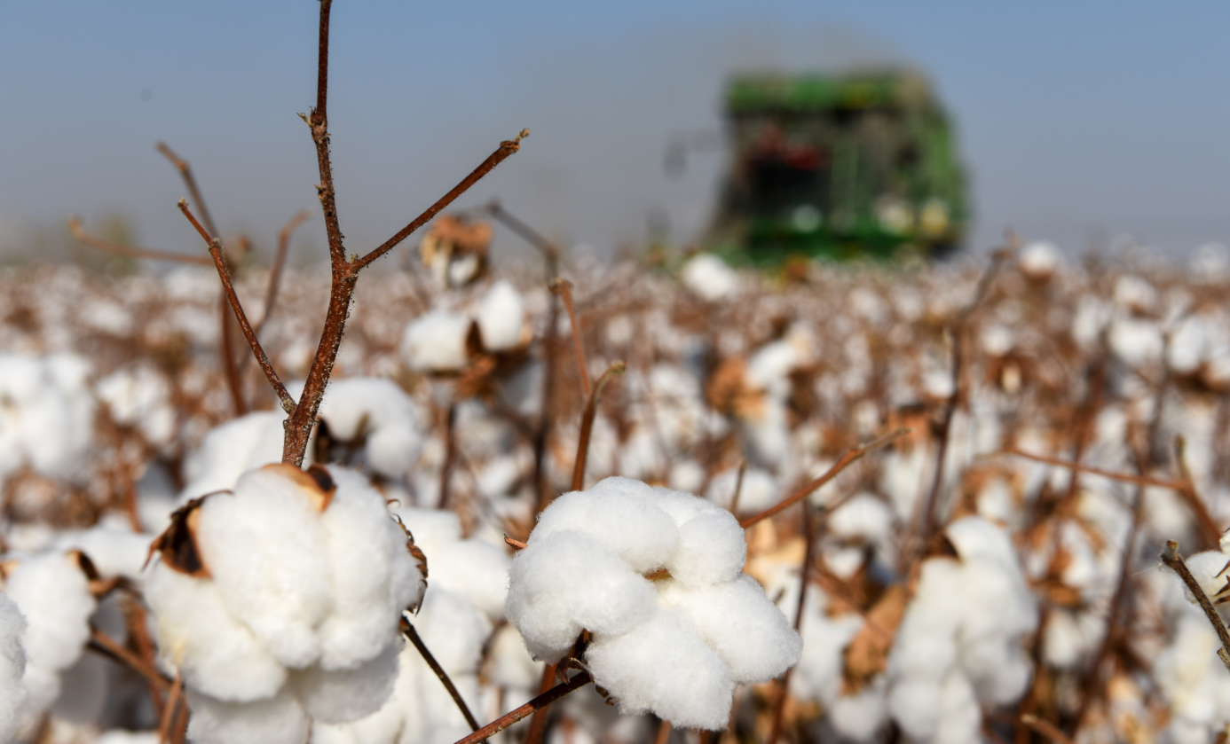 10月17日,在新疆瑪納斯縣樂土驛鎮文家莊村,棉農在棉田里操作采棉機采收棉花。(新華社)
