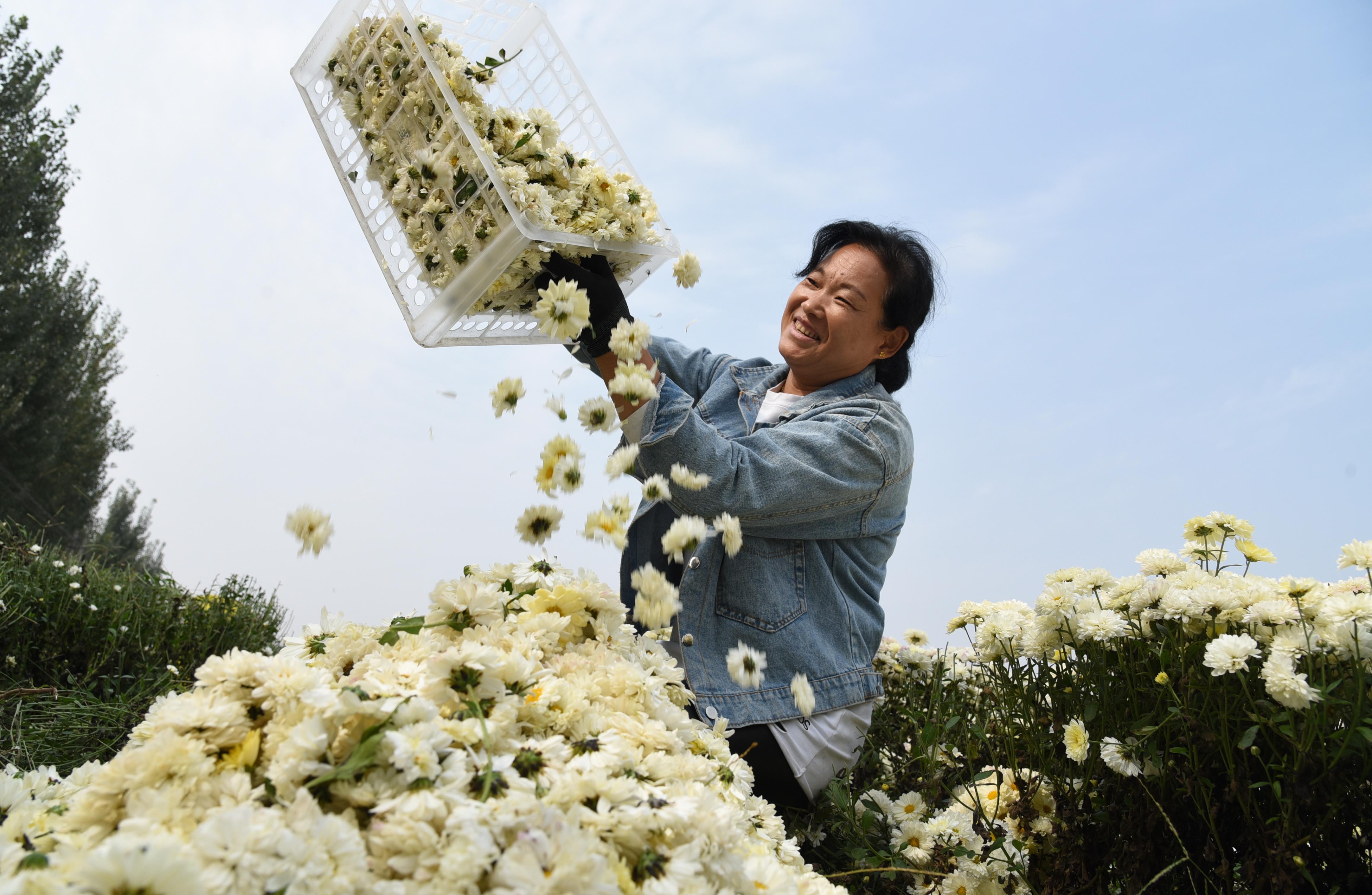 10月18日,河北省河間市米各莊鎮馬村農民在菊花種植基地分揀采收的菊花。(新華社)
