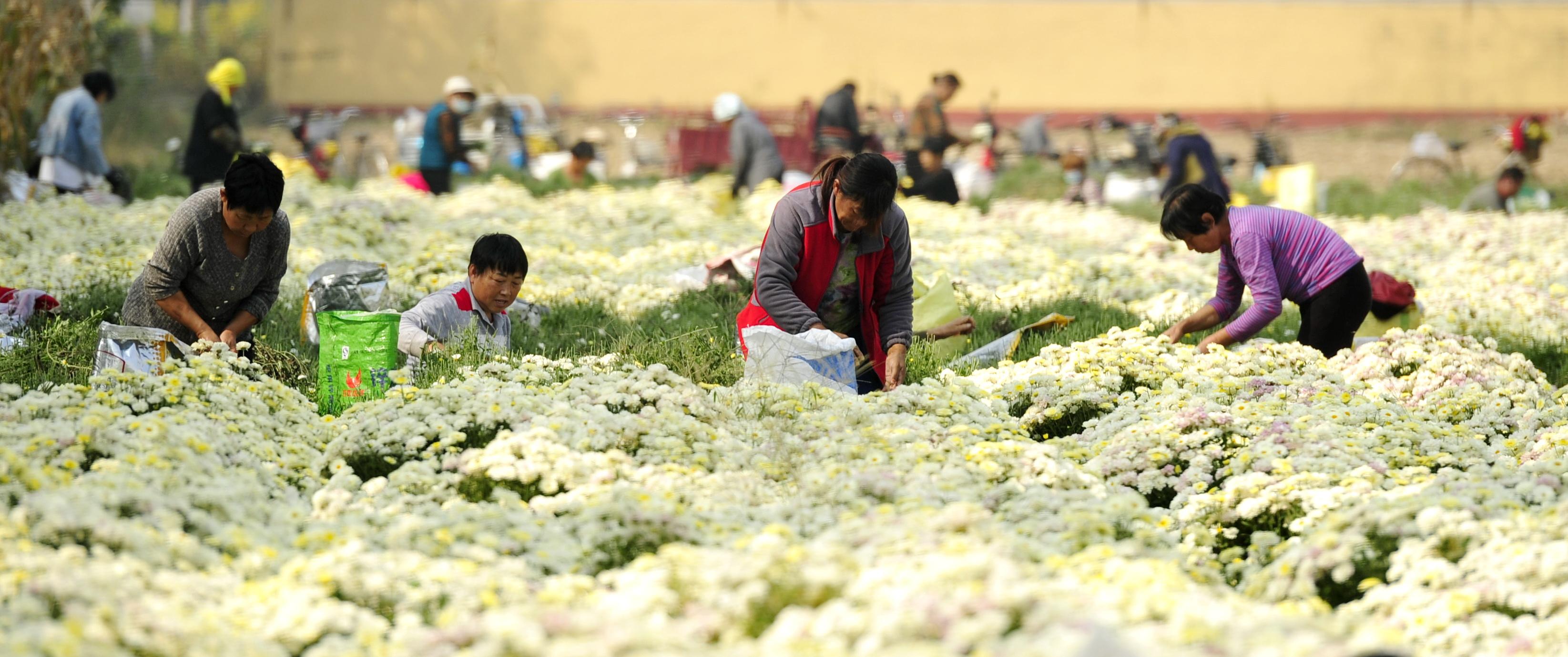10月18日,河北省河間市米各莊鎮馬村農民在菊花種植基地采收菊花。(新華社)