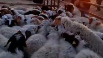 首批4000隻蒙古捐贈羊入境中國