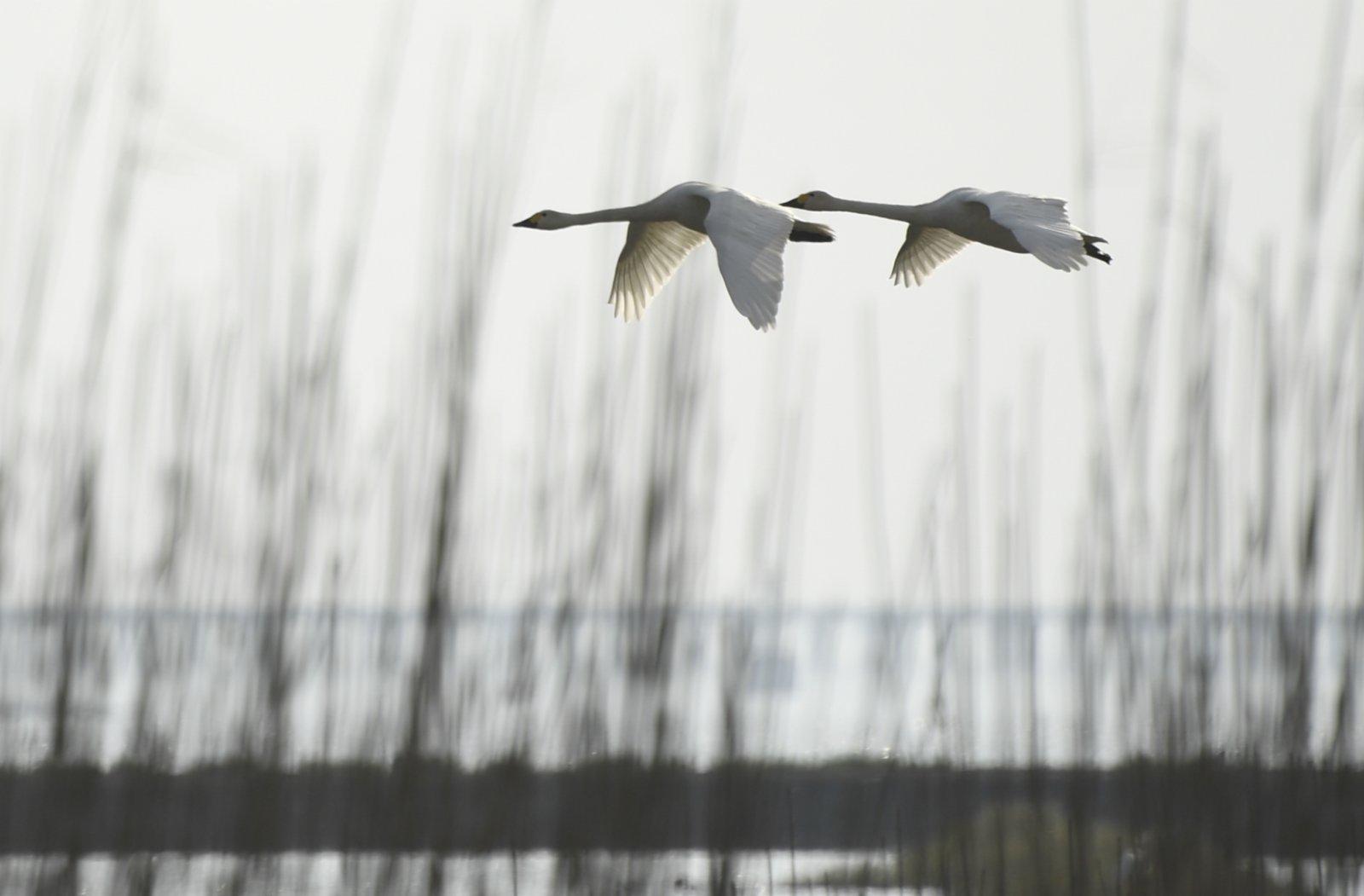 11月18日,天鵝在南京石臼湖上空飛翔。(新華社)