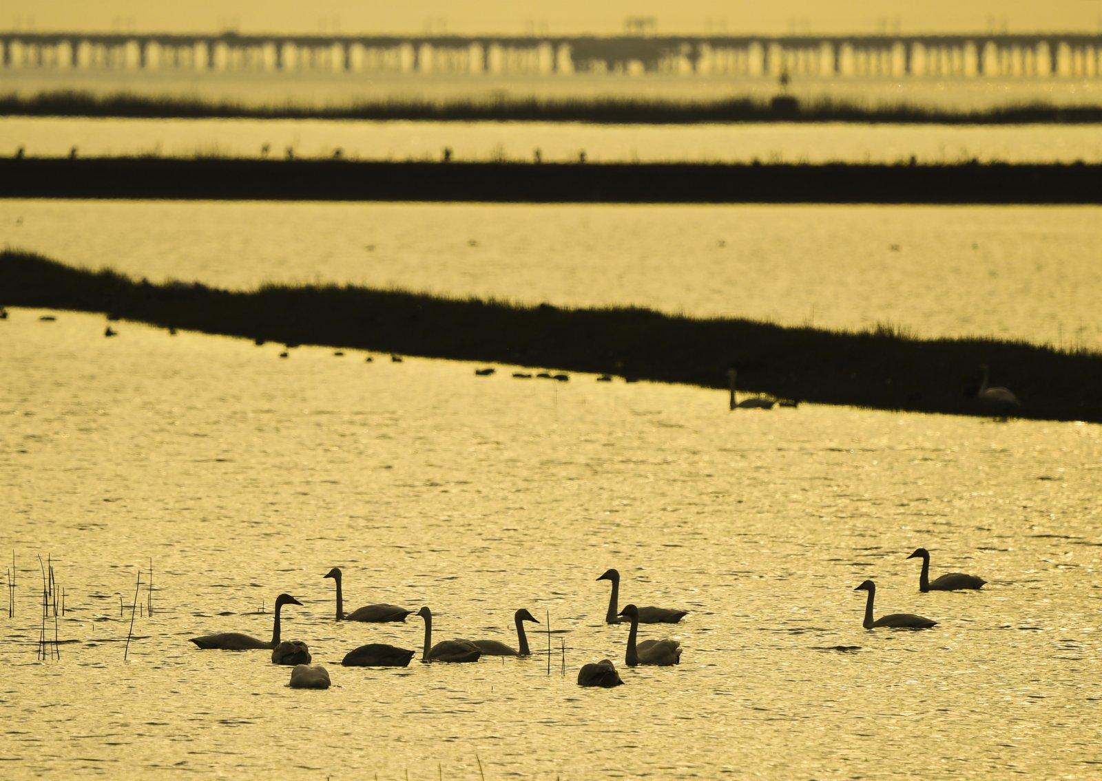 這是11月18日在南京石臼湖拍攝的天鵝。(新華社)