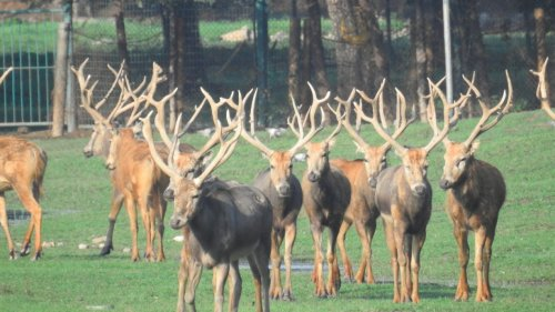 麋鹿——皇家猎物的「前世今生」