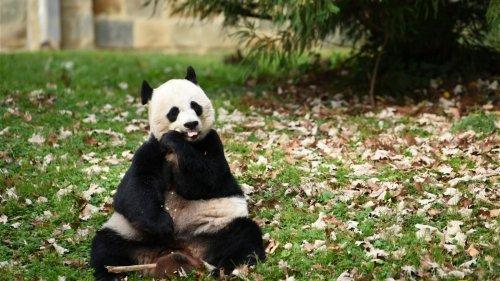 疫下「無竹食」 滯加大熊貓遣返中國