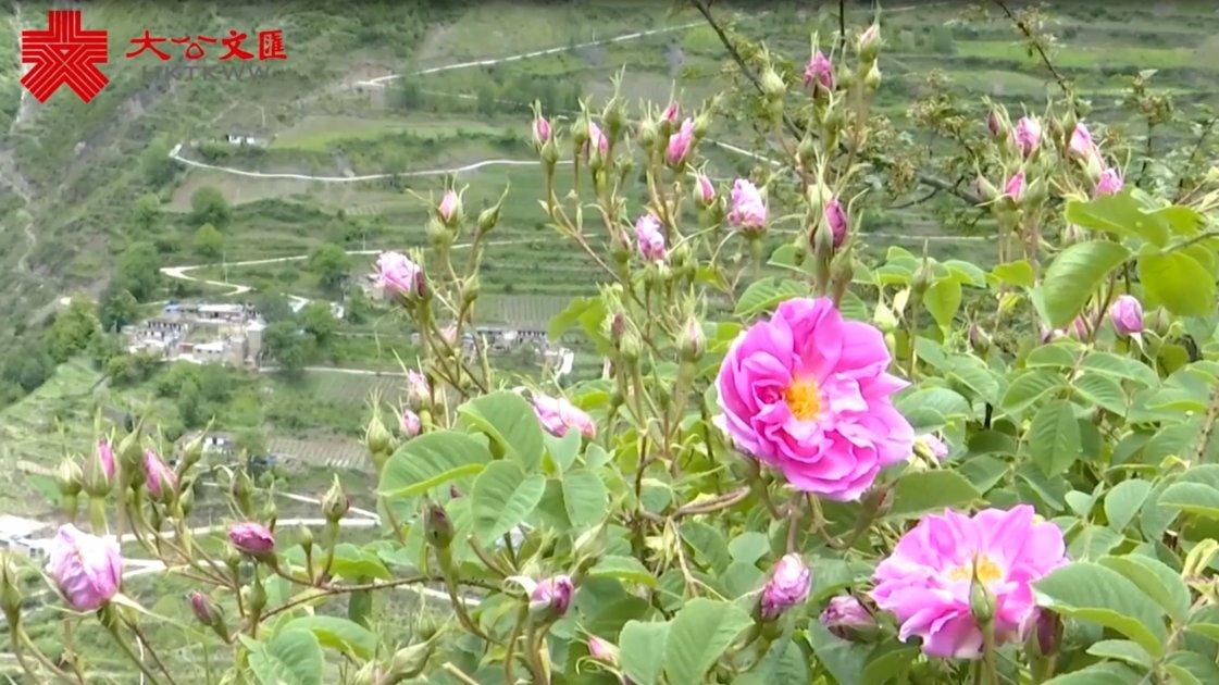 四川高原開出「扶貧花」 一朵玫瑰致富千萬家
