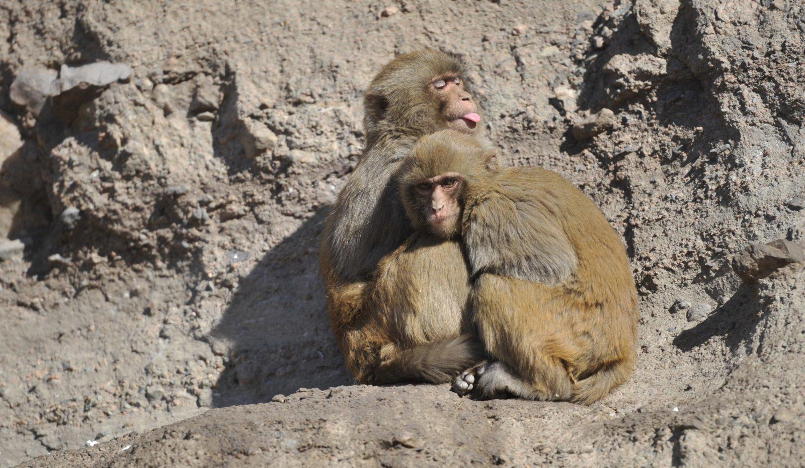 這是1月5日拍攝的雙灤區雙塔山景區內的獼猴。(新華社)