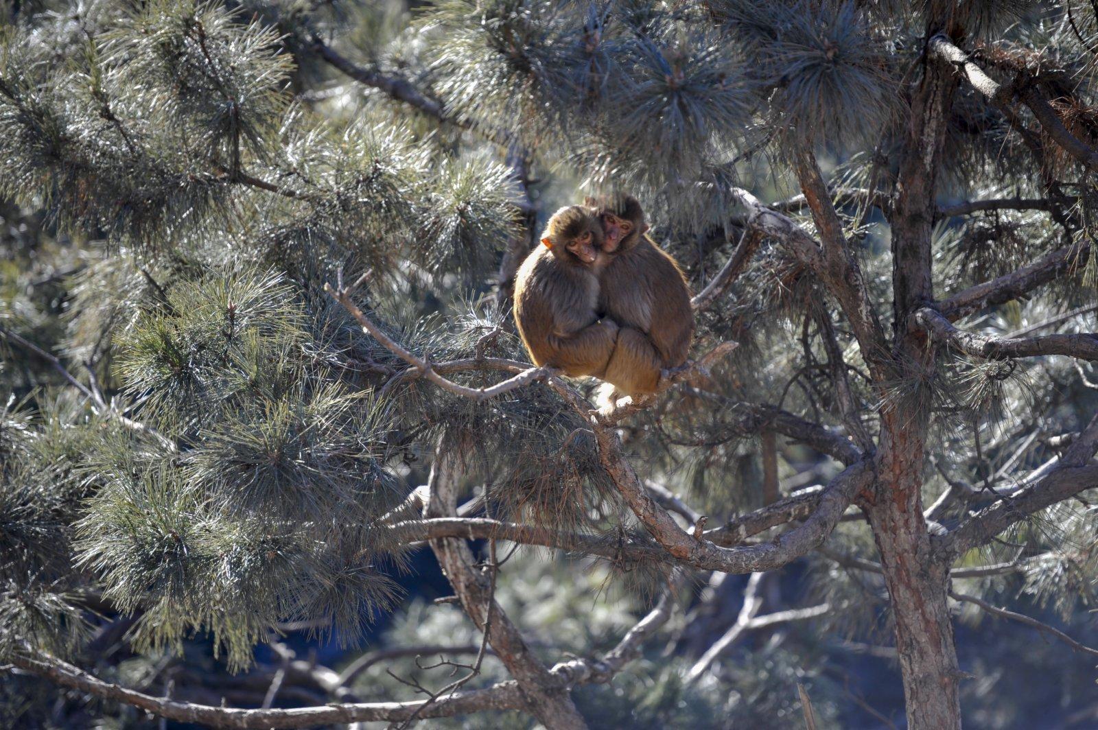 在雙灤區雙塔山景區,兩隻獼猴在樹上休息。(新華社)