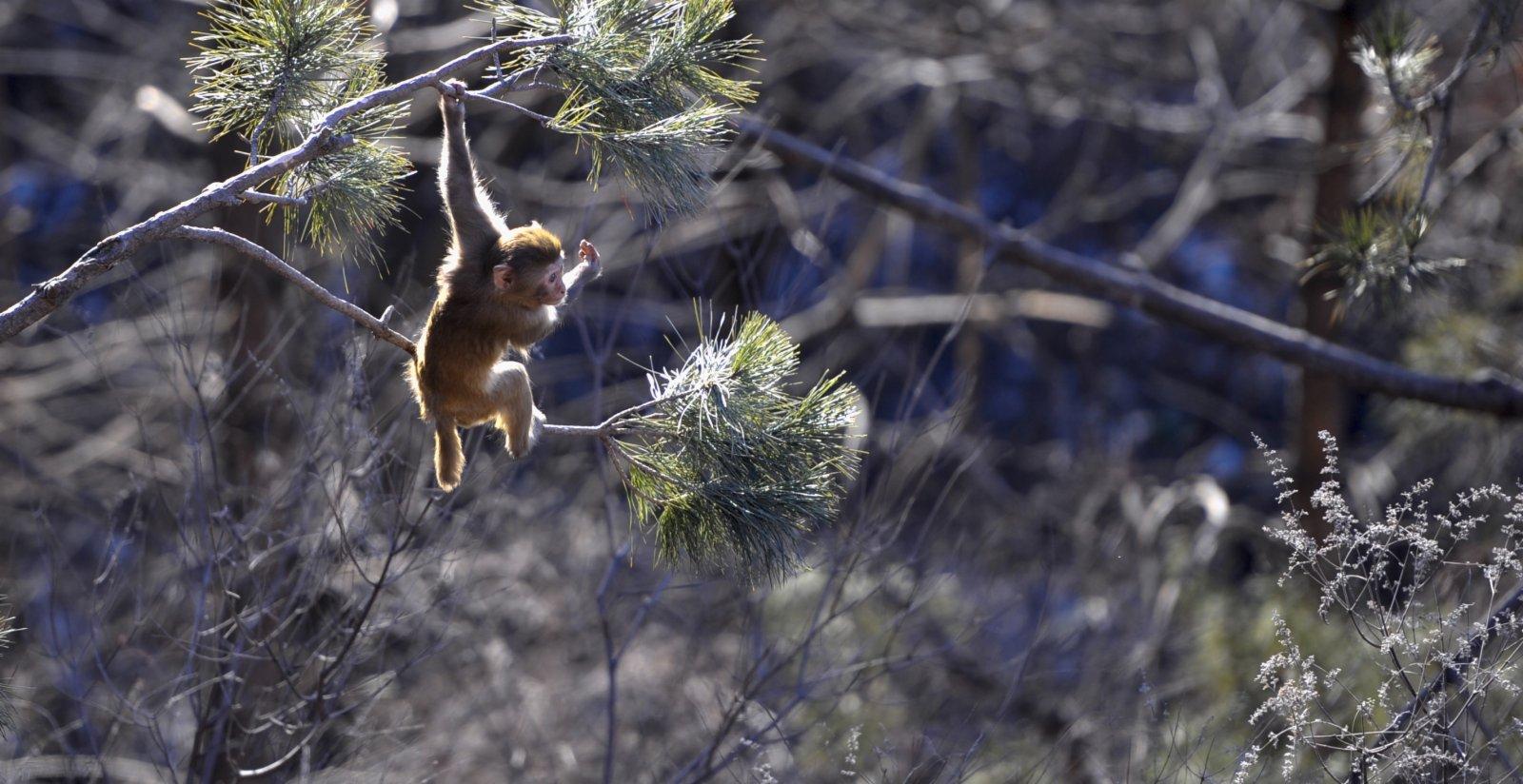 在雙灤區雙塔山景區,一隻獼猴在樹上玩耍。(新華社)