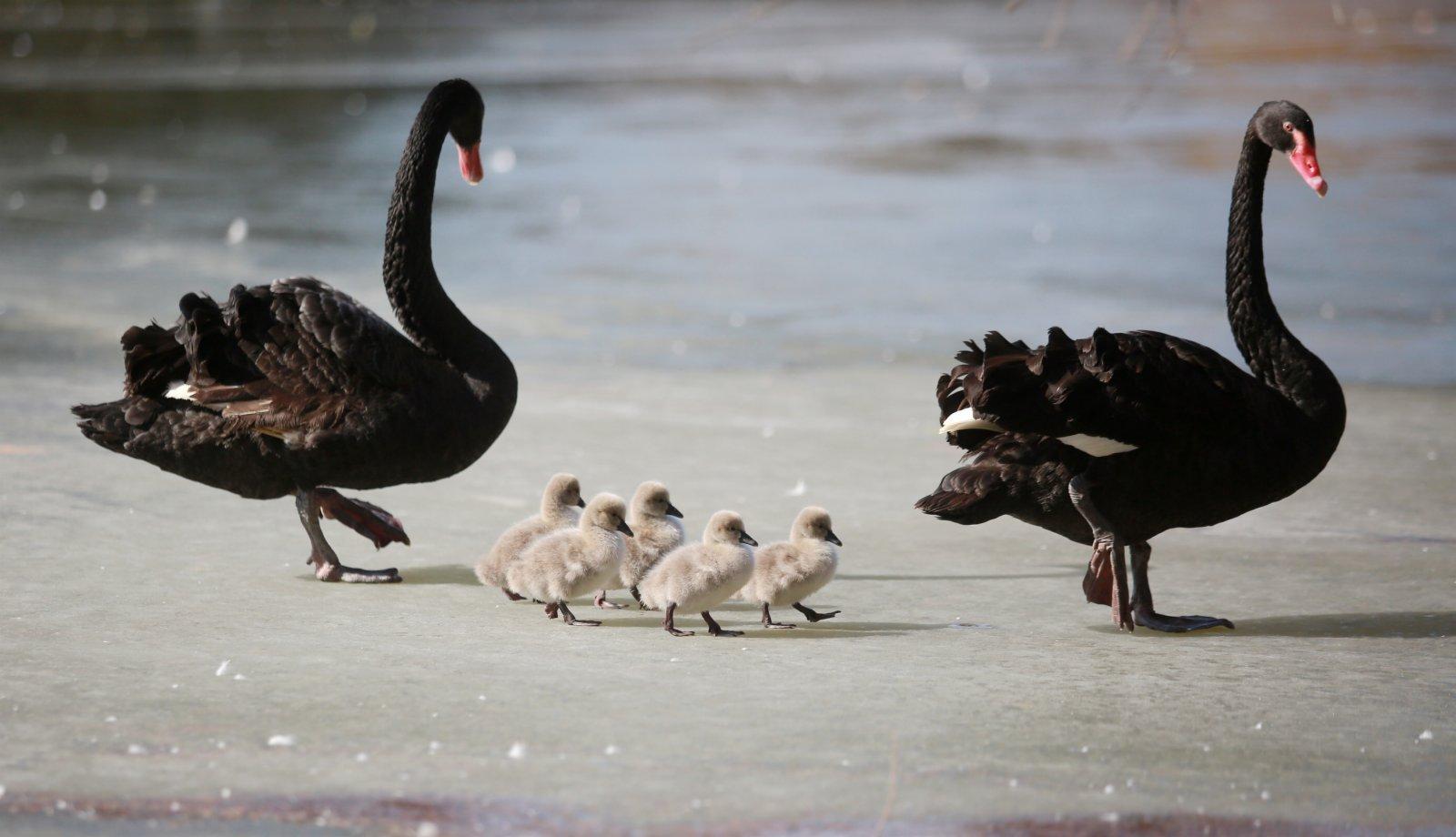 1月9日,江蘇揚州動物園湖面結冰,一對黑天鵝帶著小黑天鵝在黑天鵝。