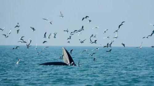 布氏鯨現身潿洲島海域