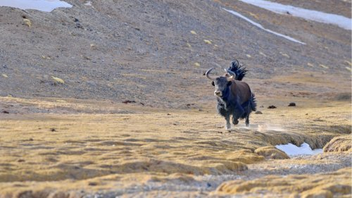 藏北高原「精靈」歡