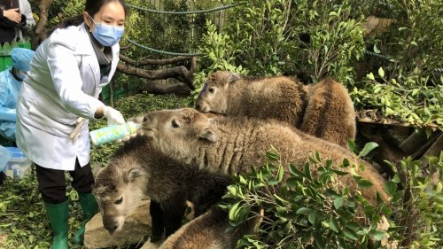 珍稀「國寶」金毛羚牛廣州成功繁育亮相