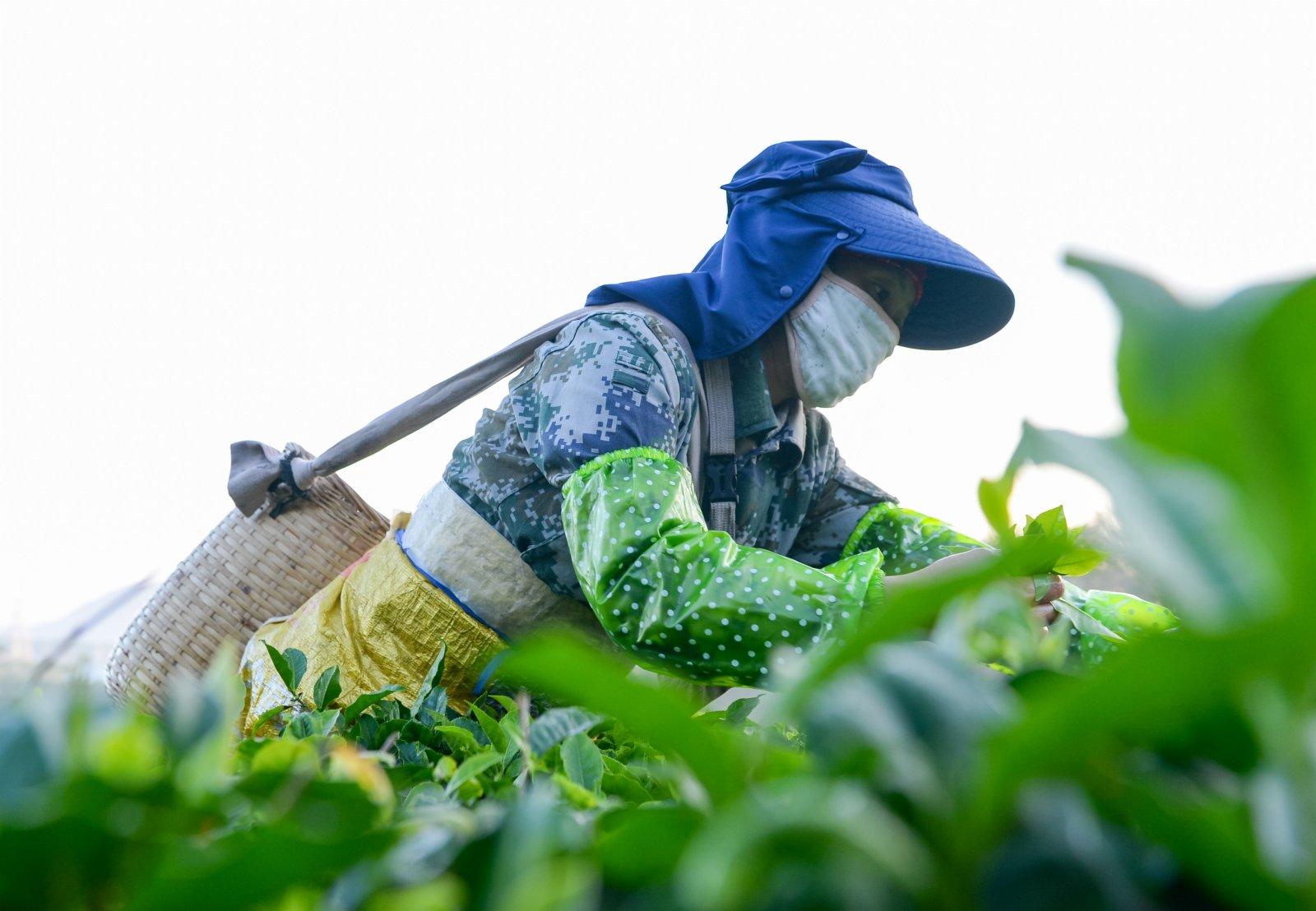 茶農在海南省白沙黎族自治縣五里路茶葉專業合作社的有機茶園採茶。