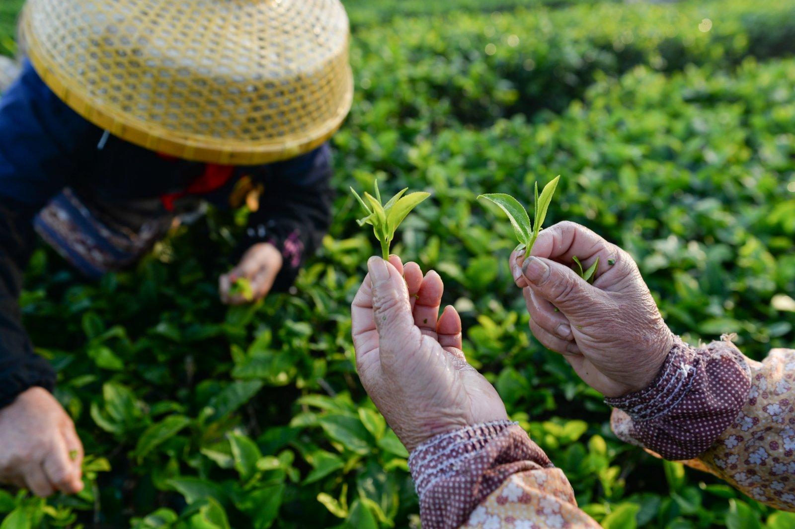 在海南省白沙黎族自治縣五里路茶葉專業合作社的有機茶園,茶農展示採摘的茶葉。