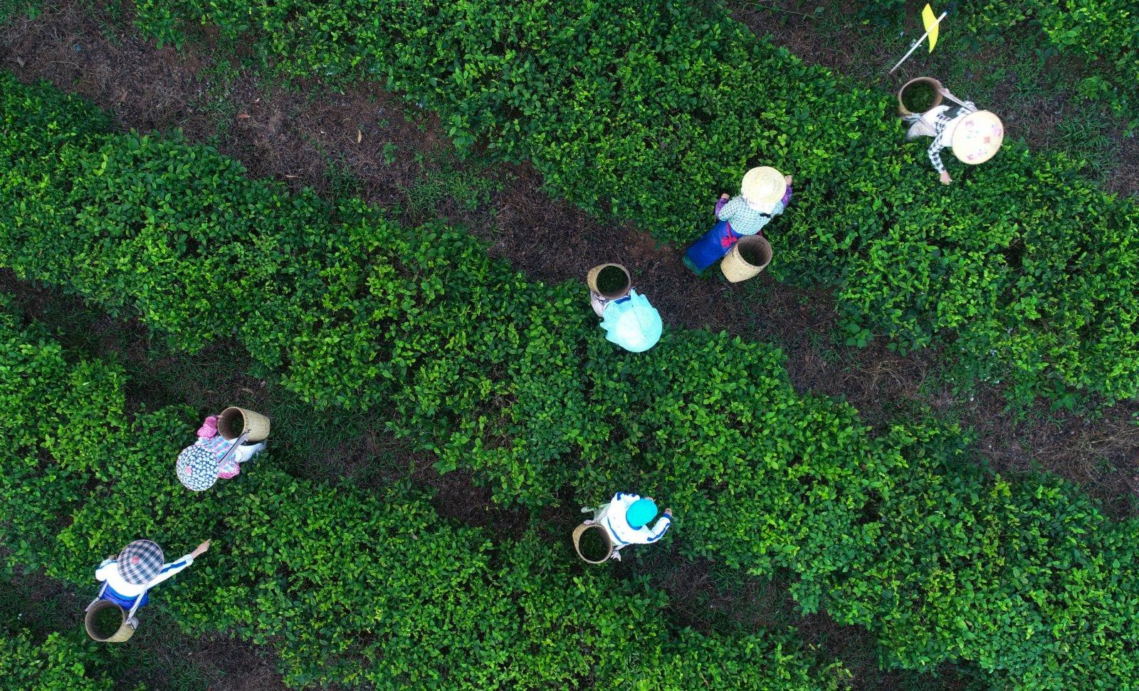茶農在海南省白沙黎族自治縣五里路茶葉專業合作社的有機茶園採茶(無人機照片)。