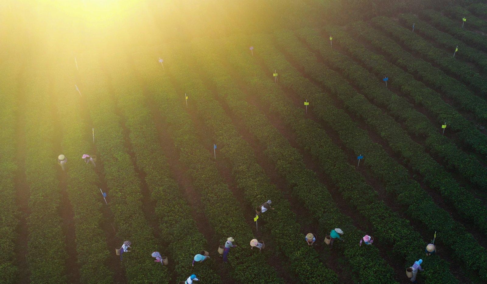 2月7日,茶農在海南省白沙黎族自治縣五里路茶葉專業合作社的有機茶園採茶(無人機照片)。