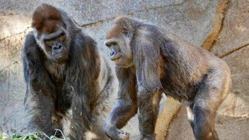 美國加州9猩猩接種新冠疫苗 全球首例