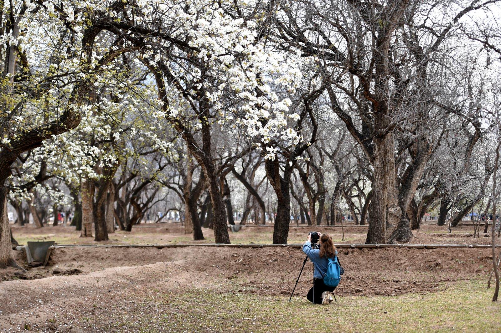 4月3日,遊客在中衛市南長灘村拍攝盛開的梨花。(新華社)