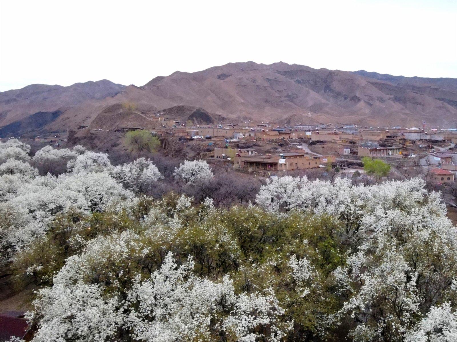 這是4月3日在中衛市南長灘村拍攝的梨花(無人機照片)。(新華社)