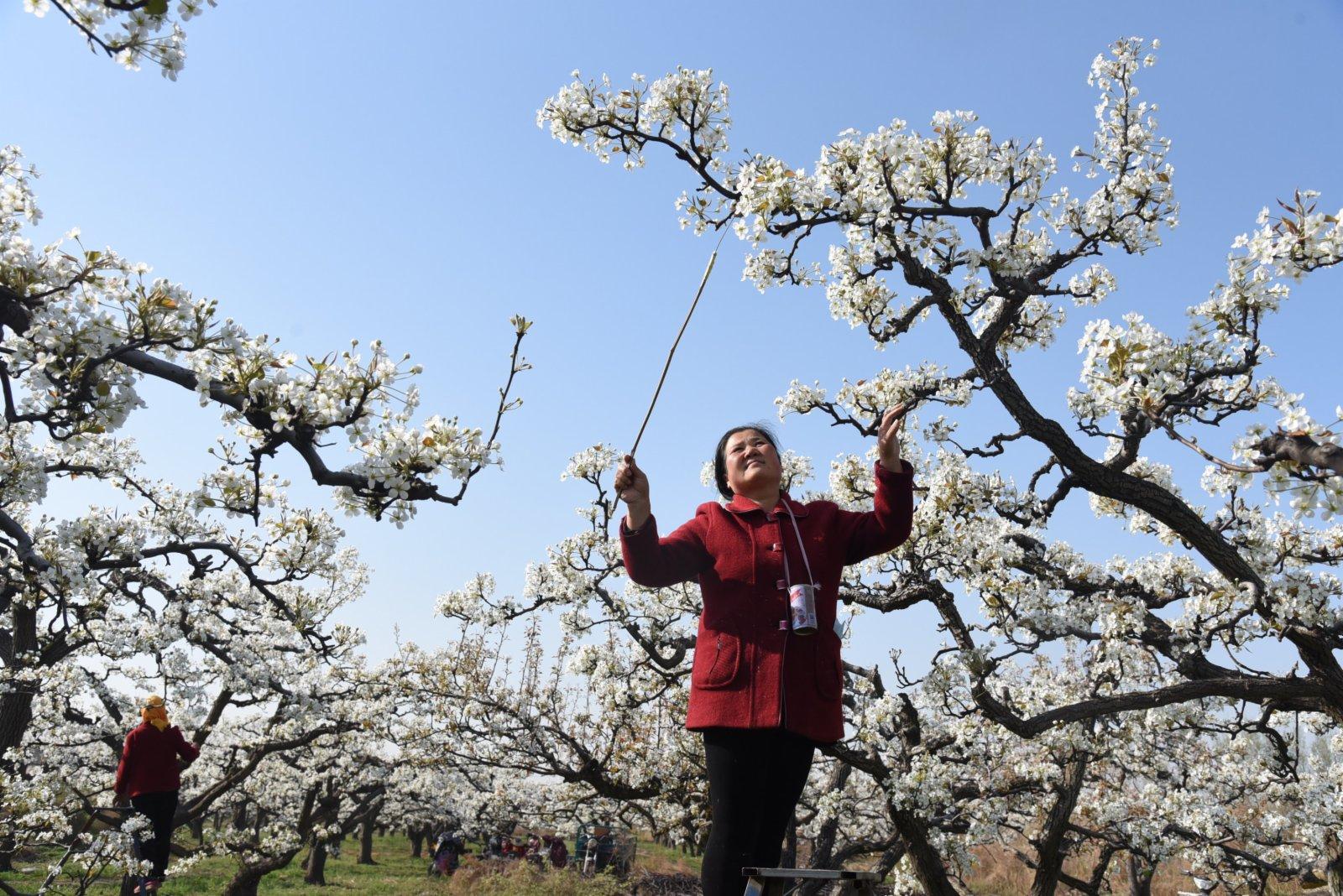 4月4日,河間市龍華店鄉興隆店村果農在梨園為梨花授粉。(新華社)