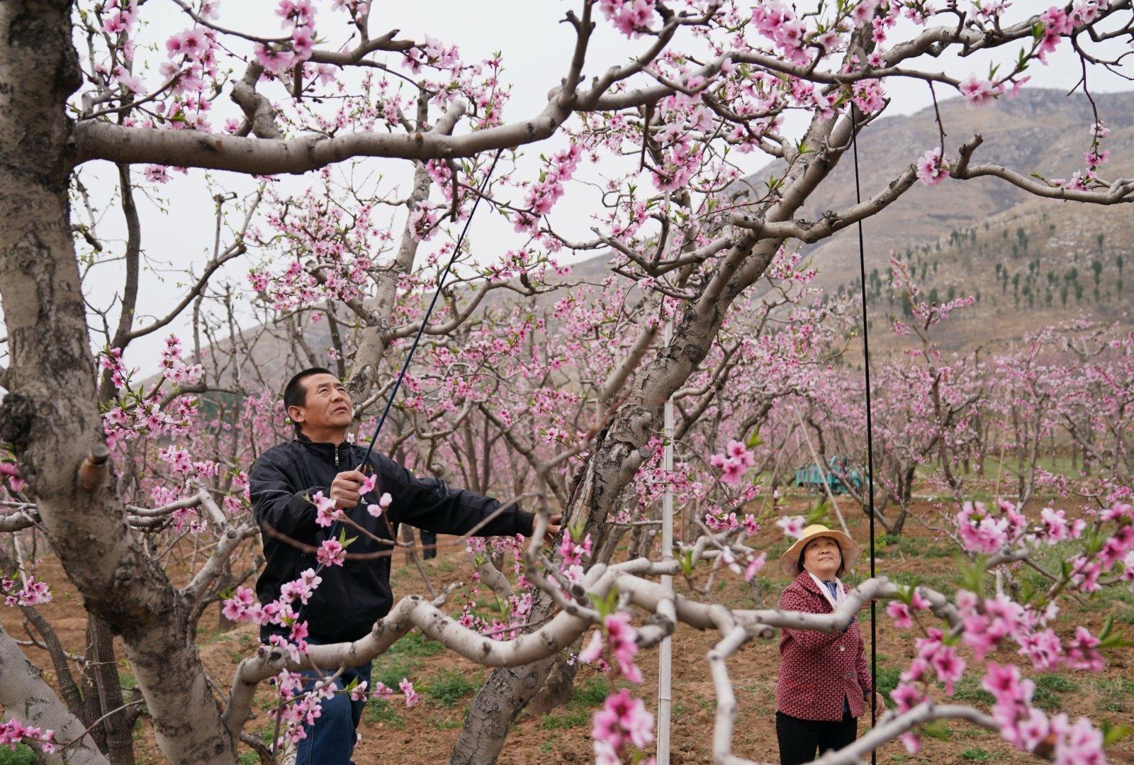 4月5日,順平縣河口鄉大李各莊村的農民在給桃花授粉。(新華社)