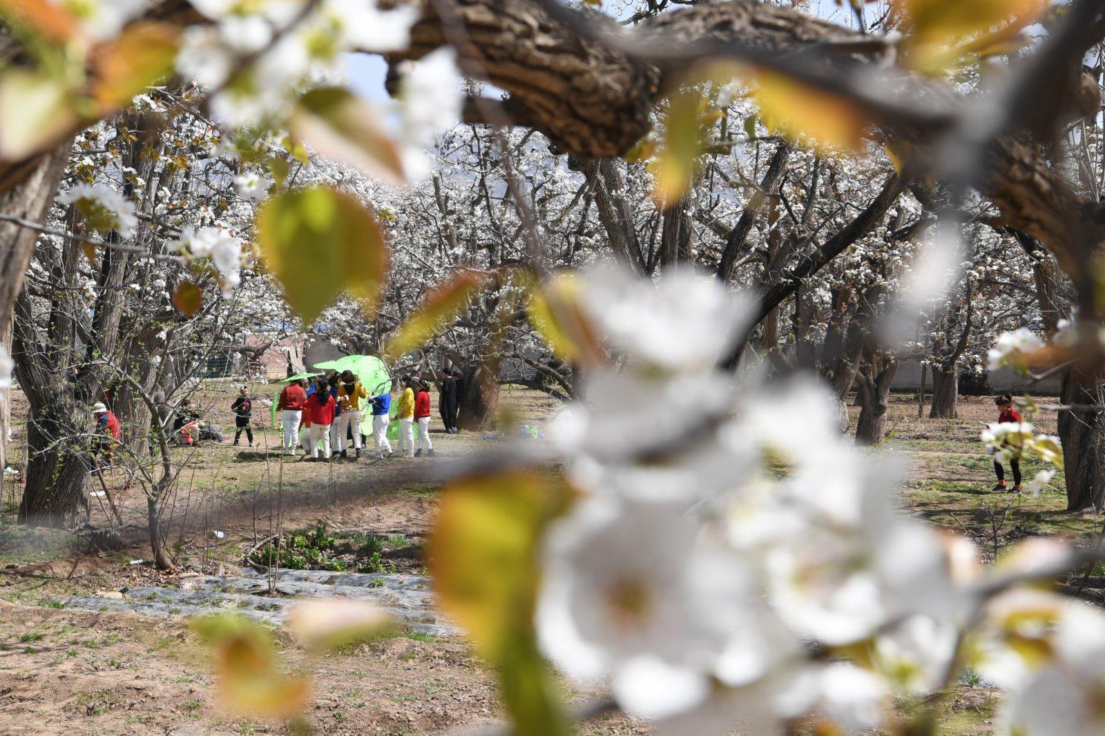 近日,位於甘肅省蘭州市皋蘭縣什川鎮的古梨園梨花盛開,吸引眾多遊客前來賞花踏青。(新華社)