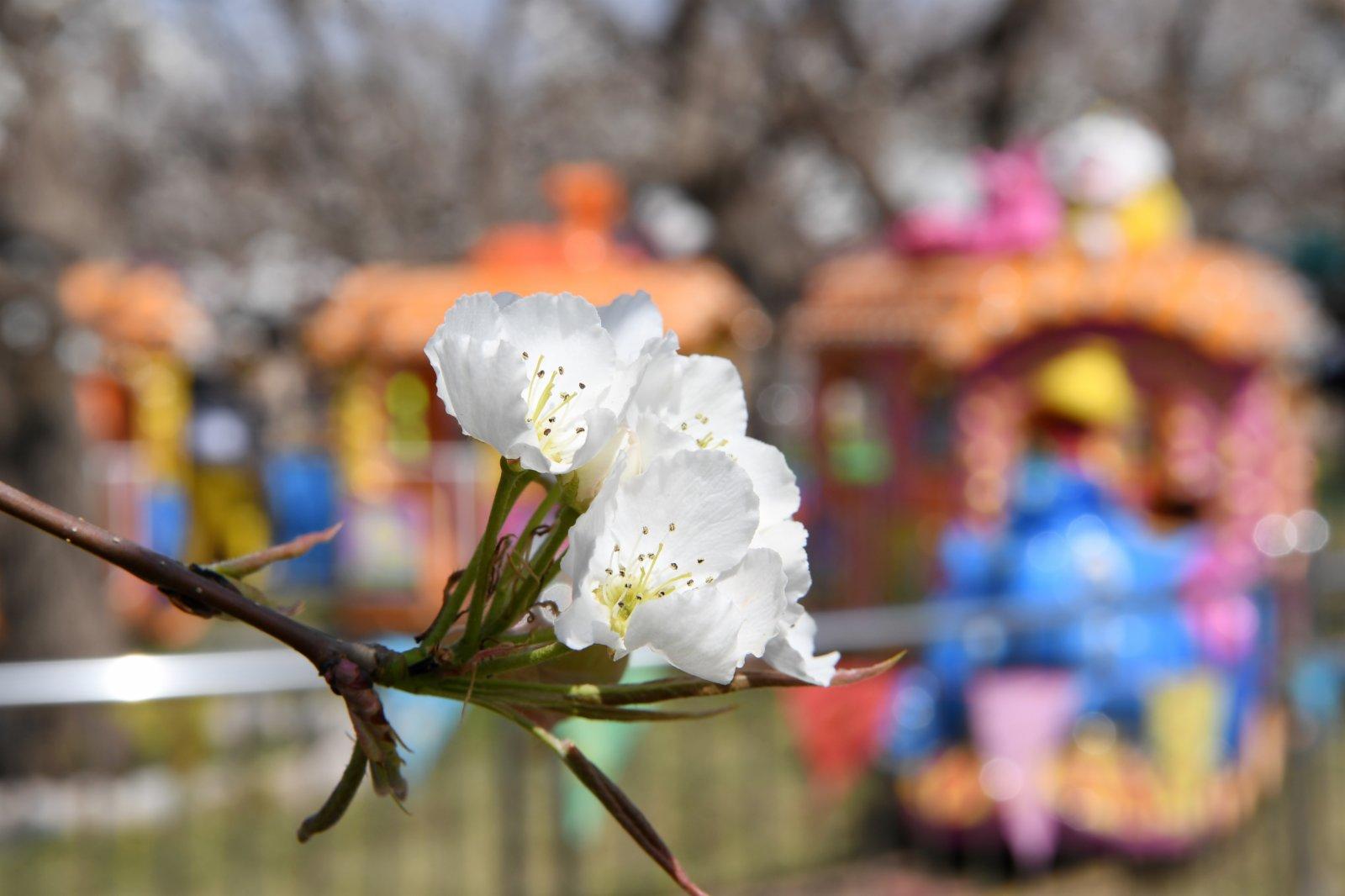 4月5日,遊客在皋蘭縣什川鎮古梨園賞花。(新華社)