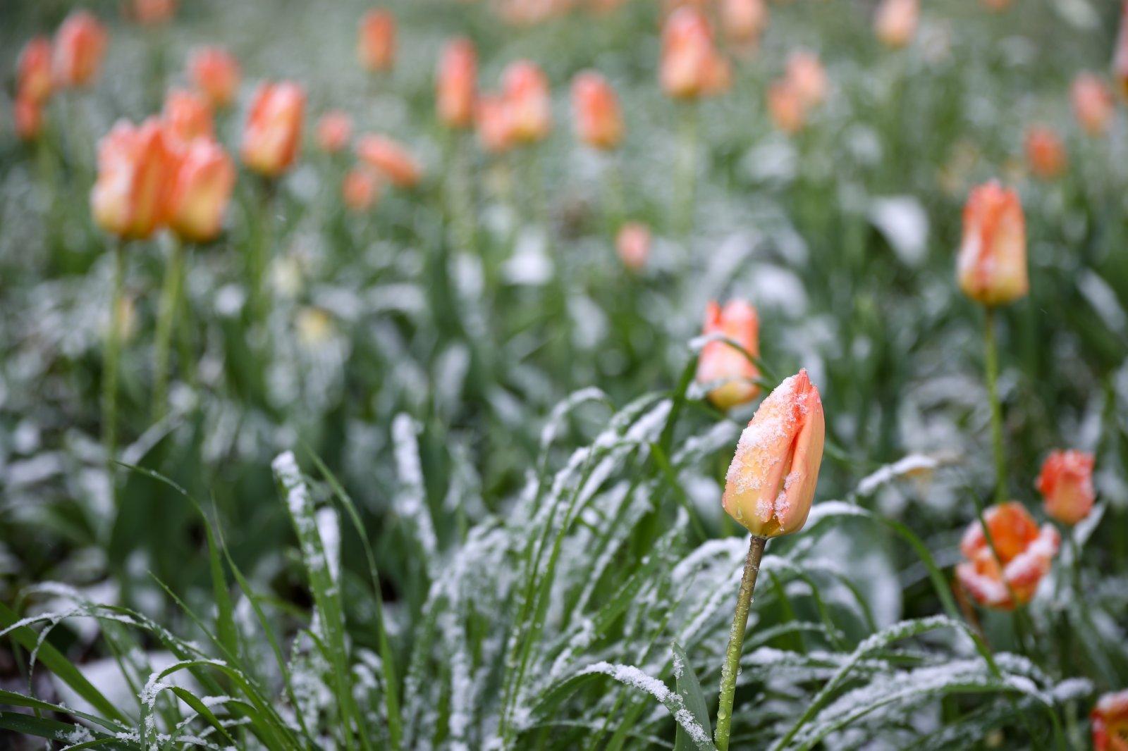 這是4月6日在比利時布魯塞爾五十周年紀念公園拍攝的含苞待放的鬱金香。