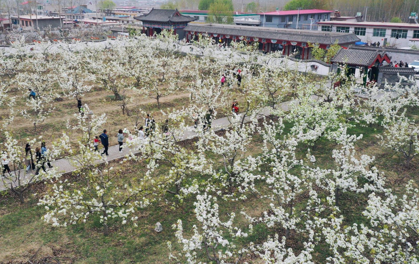 4月11日,遊客在河北省遷安市楊家坡民俗文化園內賞花(無人機照片)。(新華社)