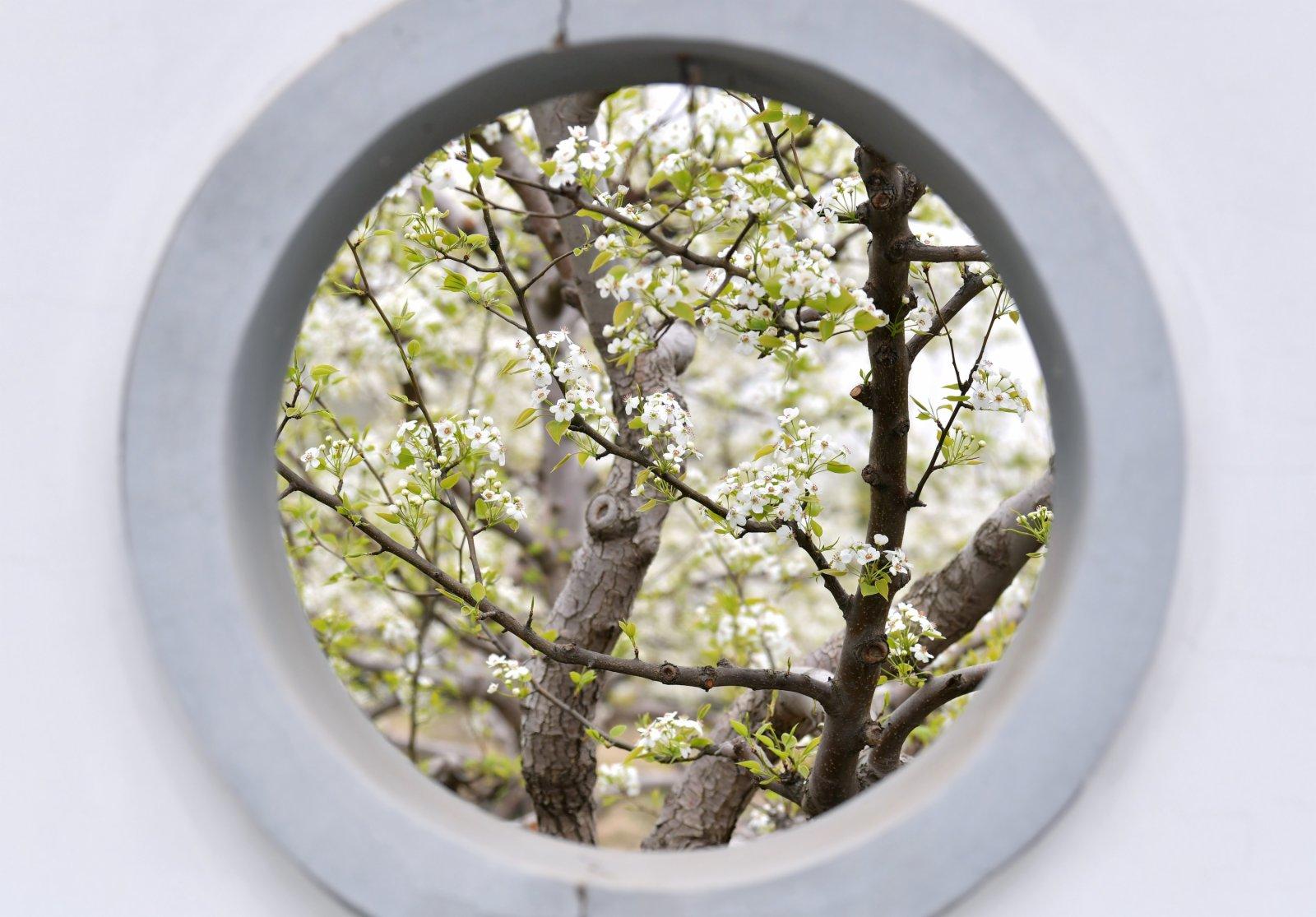 4月11日在楊家坡民俗文化園內拍攝的梨花。(新華社)