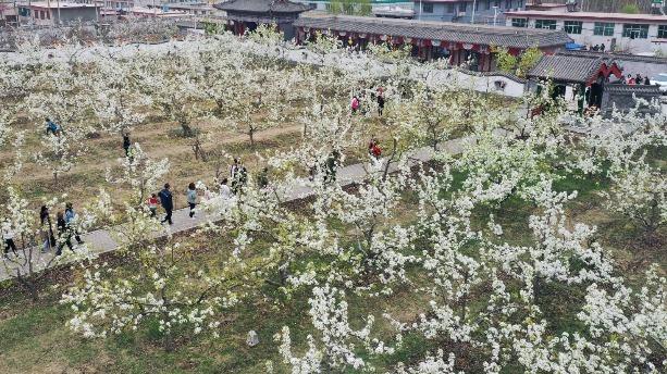 河北遷安:梨花俏 遊客笑
