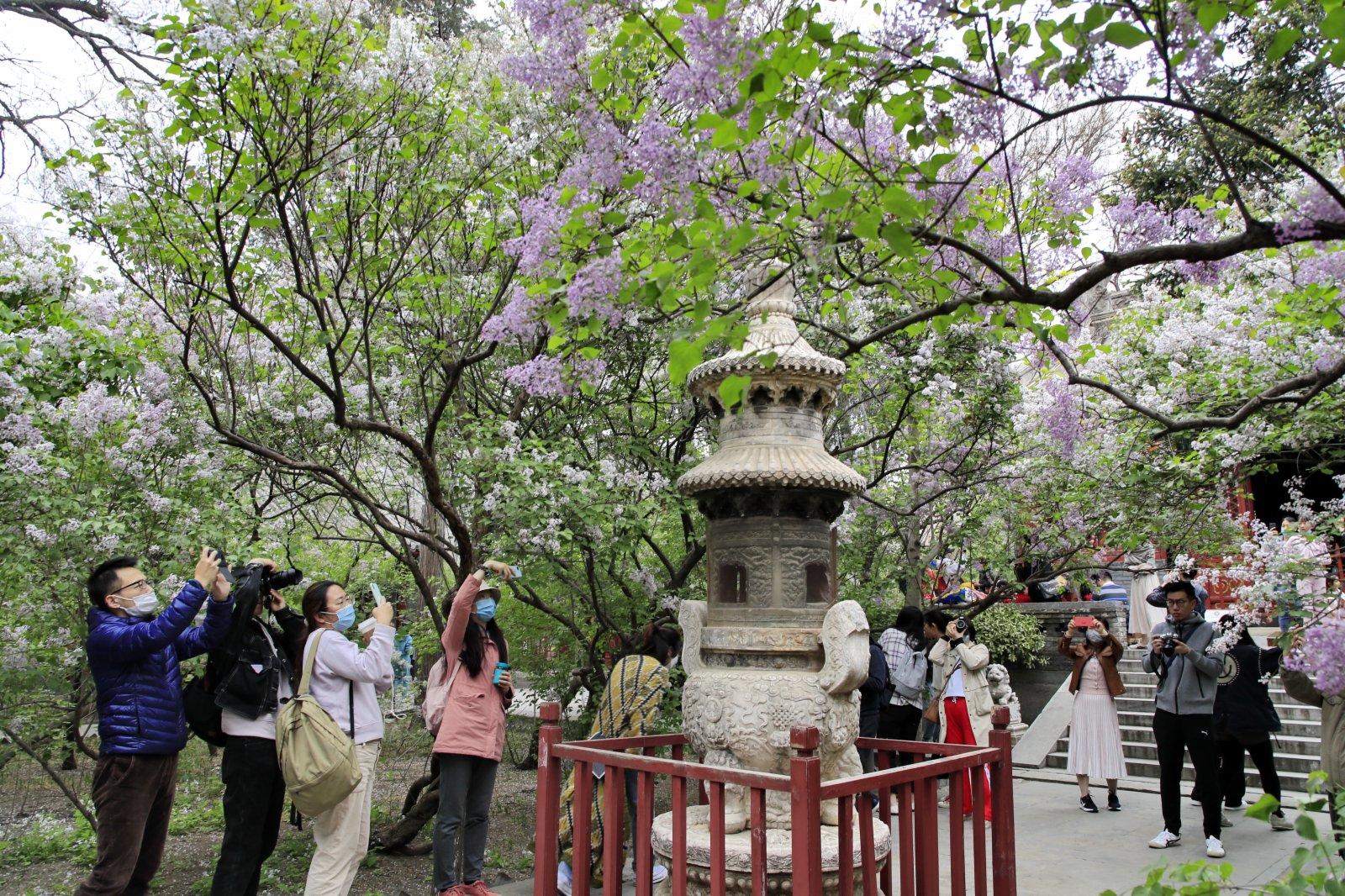 4月11日,遊客在北京法源寺拍攝盛開的丁香花。(新華社)
