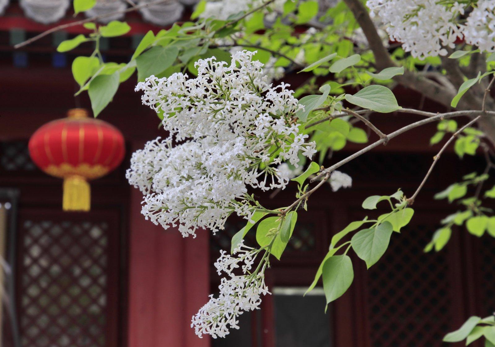 4月11日在北京法源寺拍攝的盛開的丁香花。(新華社)
