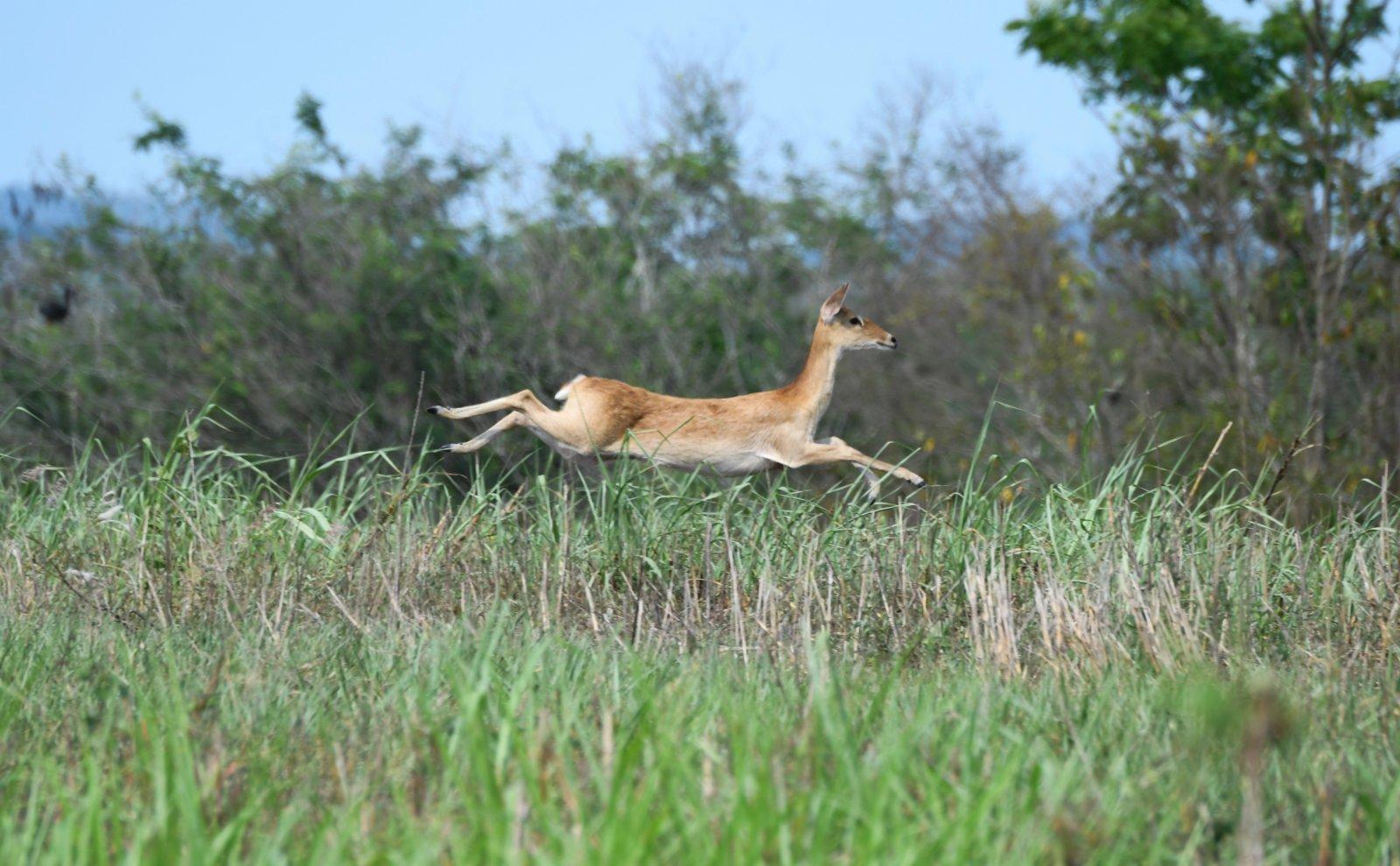 在海南邦溪坡鹿自然保護區,一隻坡鹿在保護區內飛奔(2020年4月3日攝)。新華社
