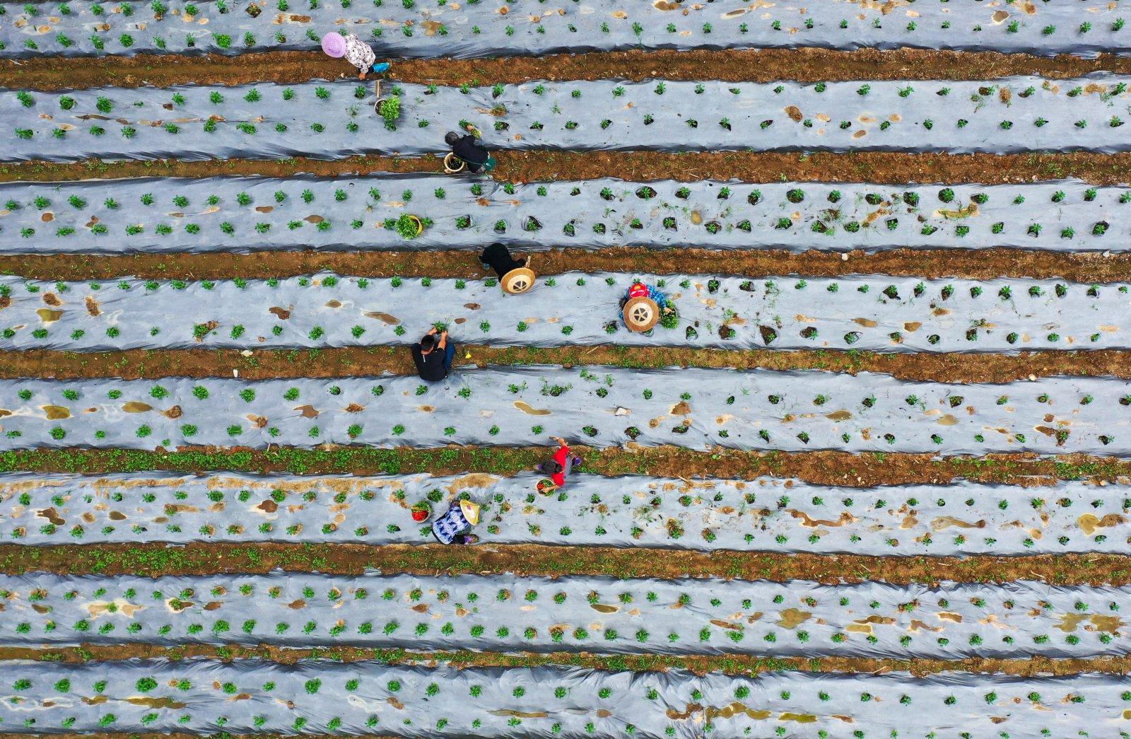 5月13日,村民在玉屏侗族自治縣田坪鎮慶寨村辣椒種植基地勞作。(新華社)