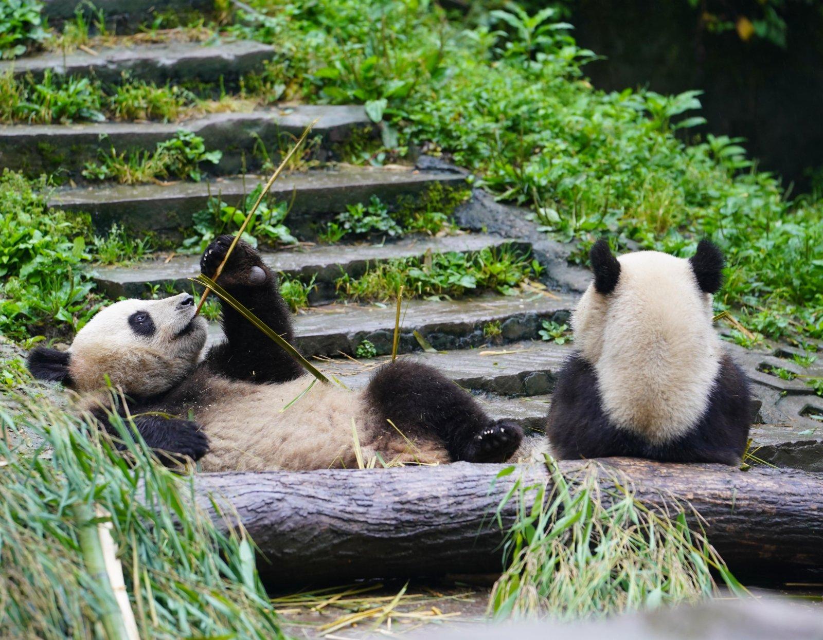 這是5月15日在中國大熊貓保護研究中心雅安碧峰峽基地拍攝的大熊貓。