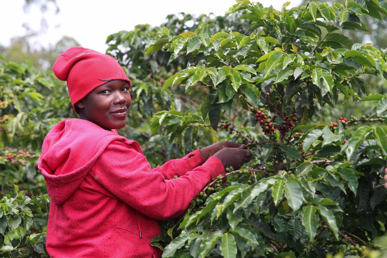 6月3日,工人在肯尼亞魯伊魯的一家咖啡園採摘咖啡豆。(新華社)