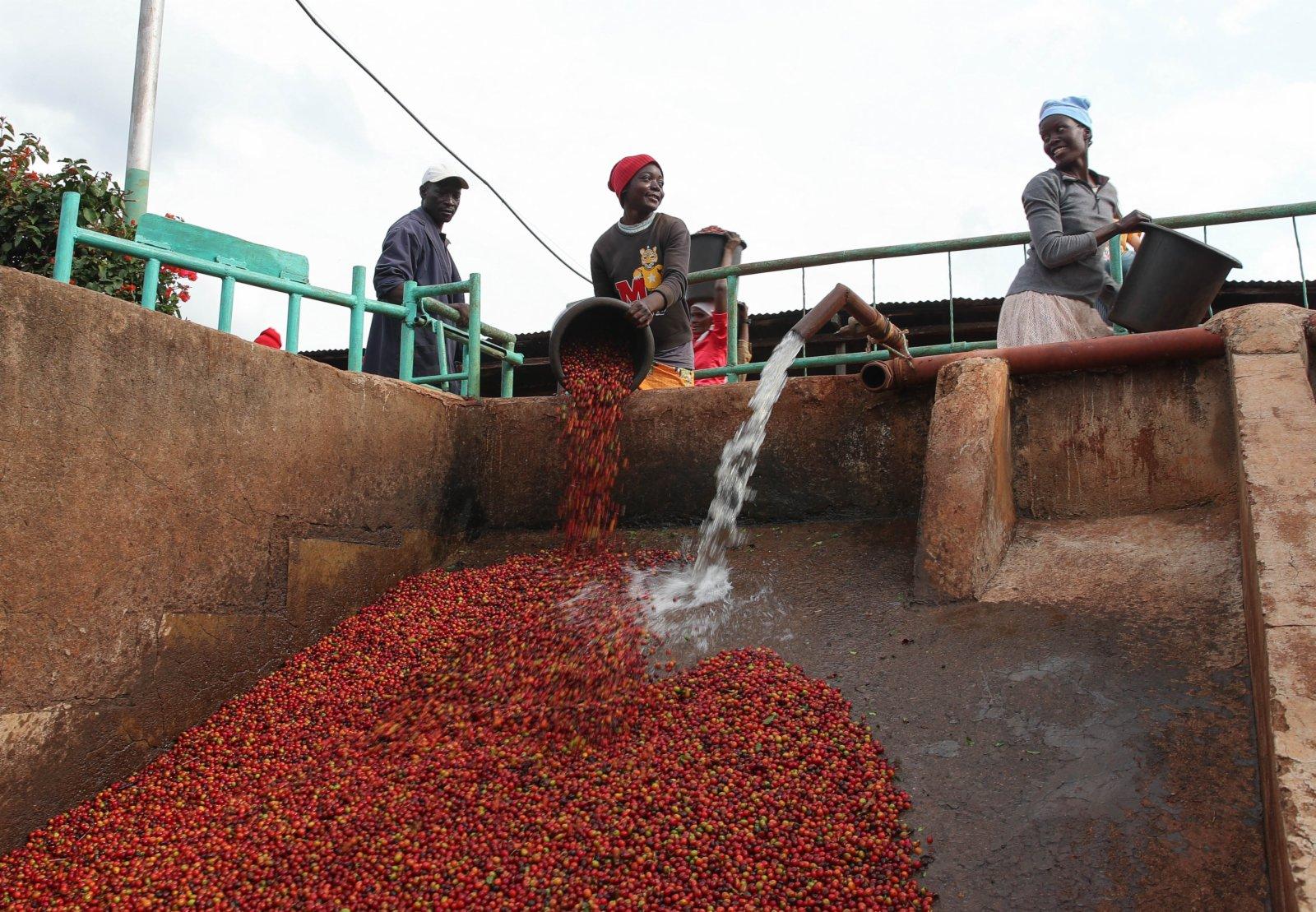 6月3日,在肯尼亞魯伊魯的一家咖啡園,工人將咖啡豆倒入清洗站。(新華社)