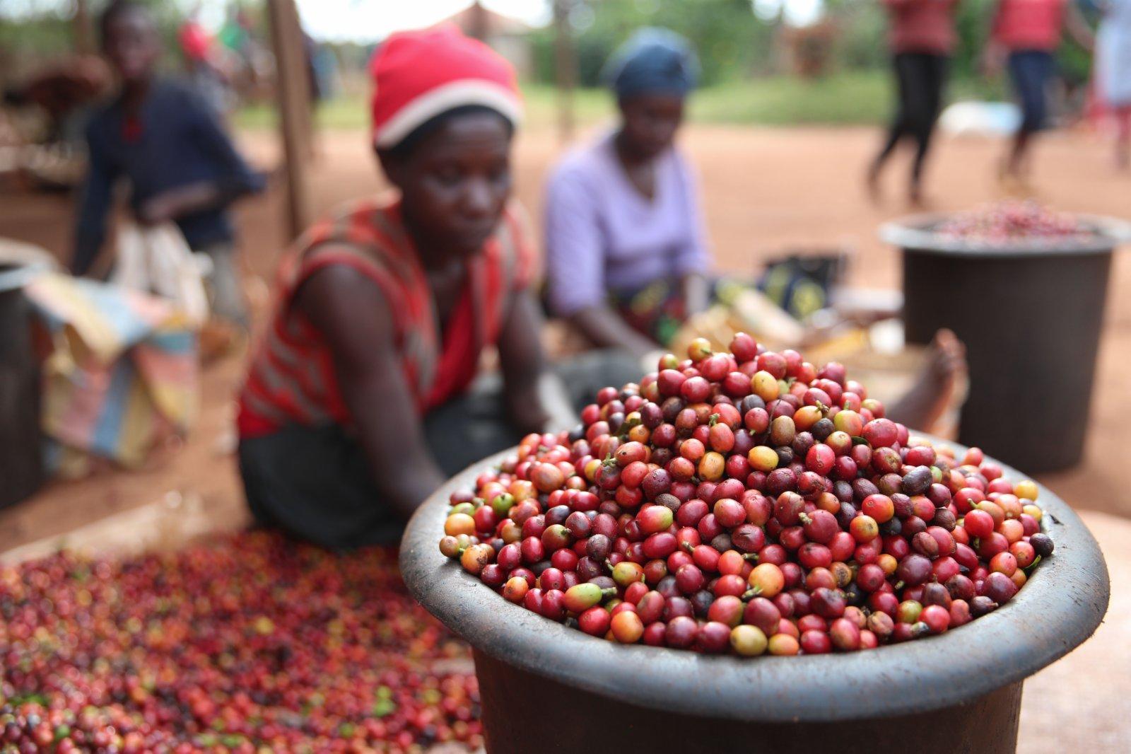 6月3日,工人在肯尼亞魯伊魯的一家咖啡園分揀咖啡豆。(新華社)