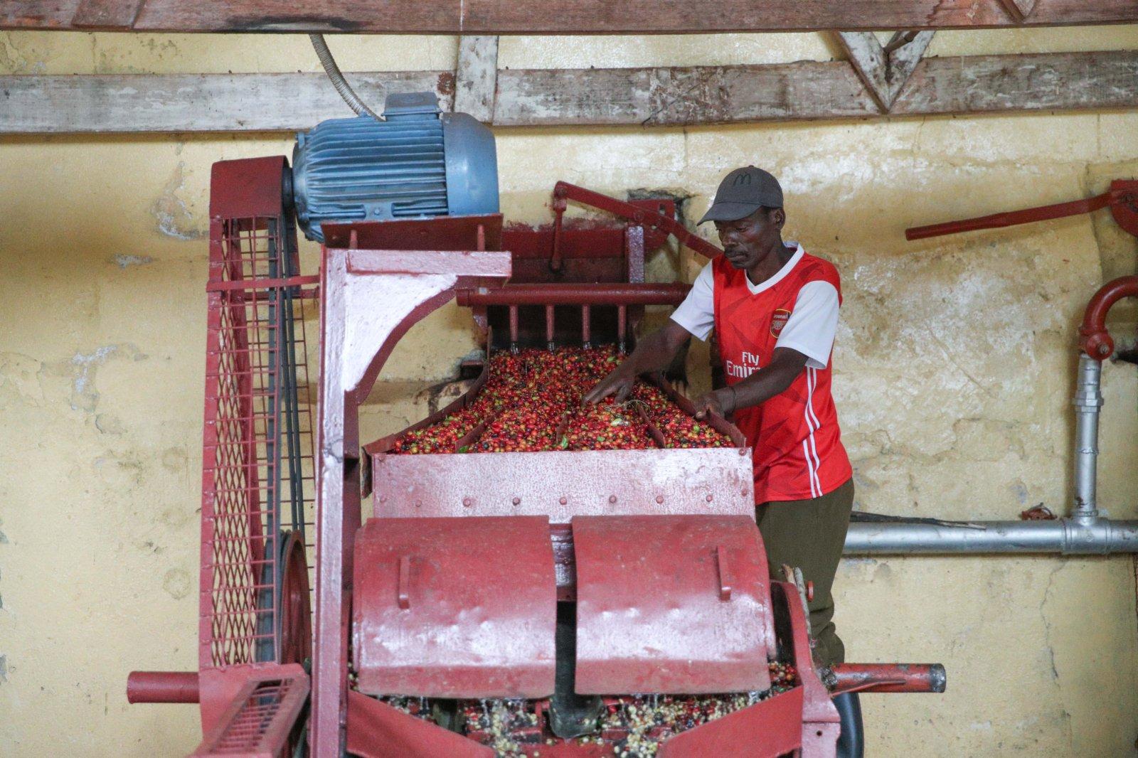 6月3日,工人在肯尼亞魯伊魯的一家咖啡園清洗咖啡豆。(新華社)
