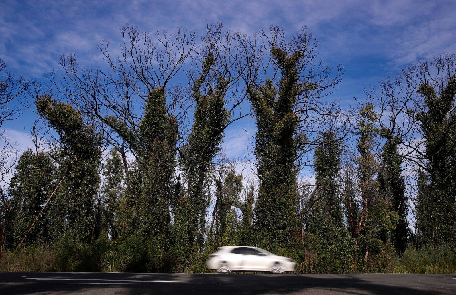 6月1日,在澳大利亞悉尼以西的藍山地區,公路旁遭受2020年夏天山火災害的林地部分植物已經恢復繁茂。(新華社)