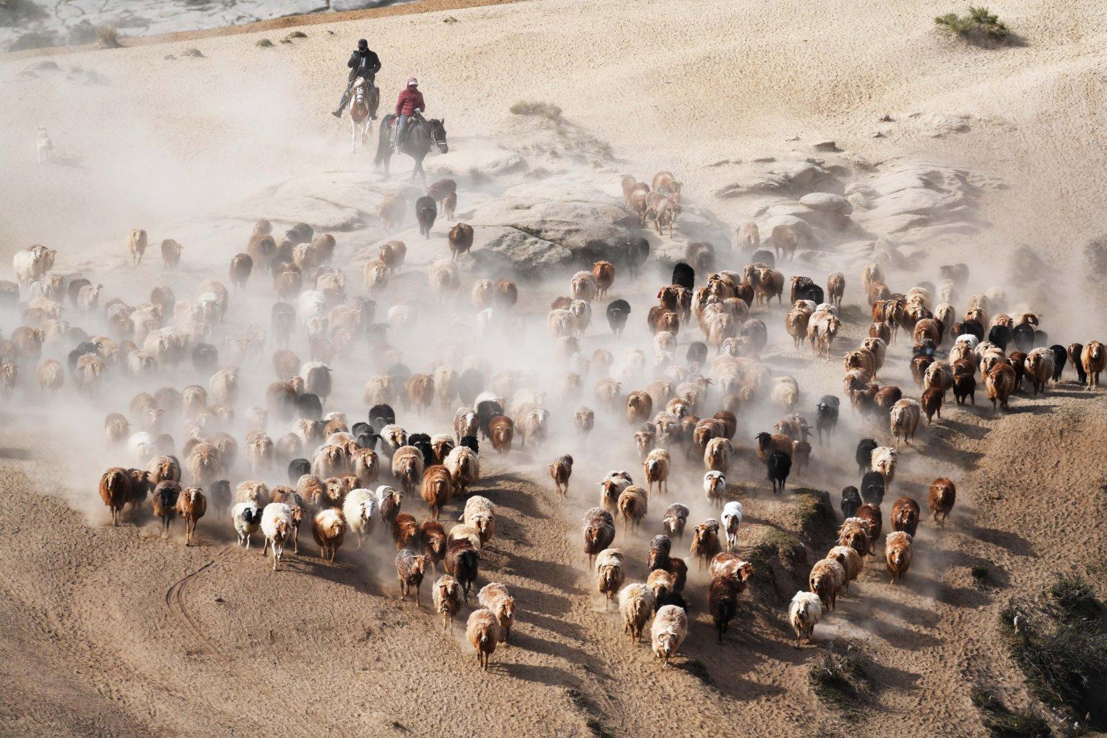 6月5日,在新疆阿勒泰地區福海縣沙爾布拉克春秋牧場的牧道上,牧民趕着牲畜向夏季牧場遷徙。(新華社)