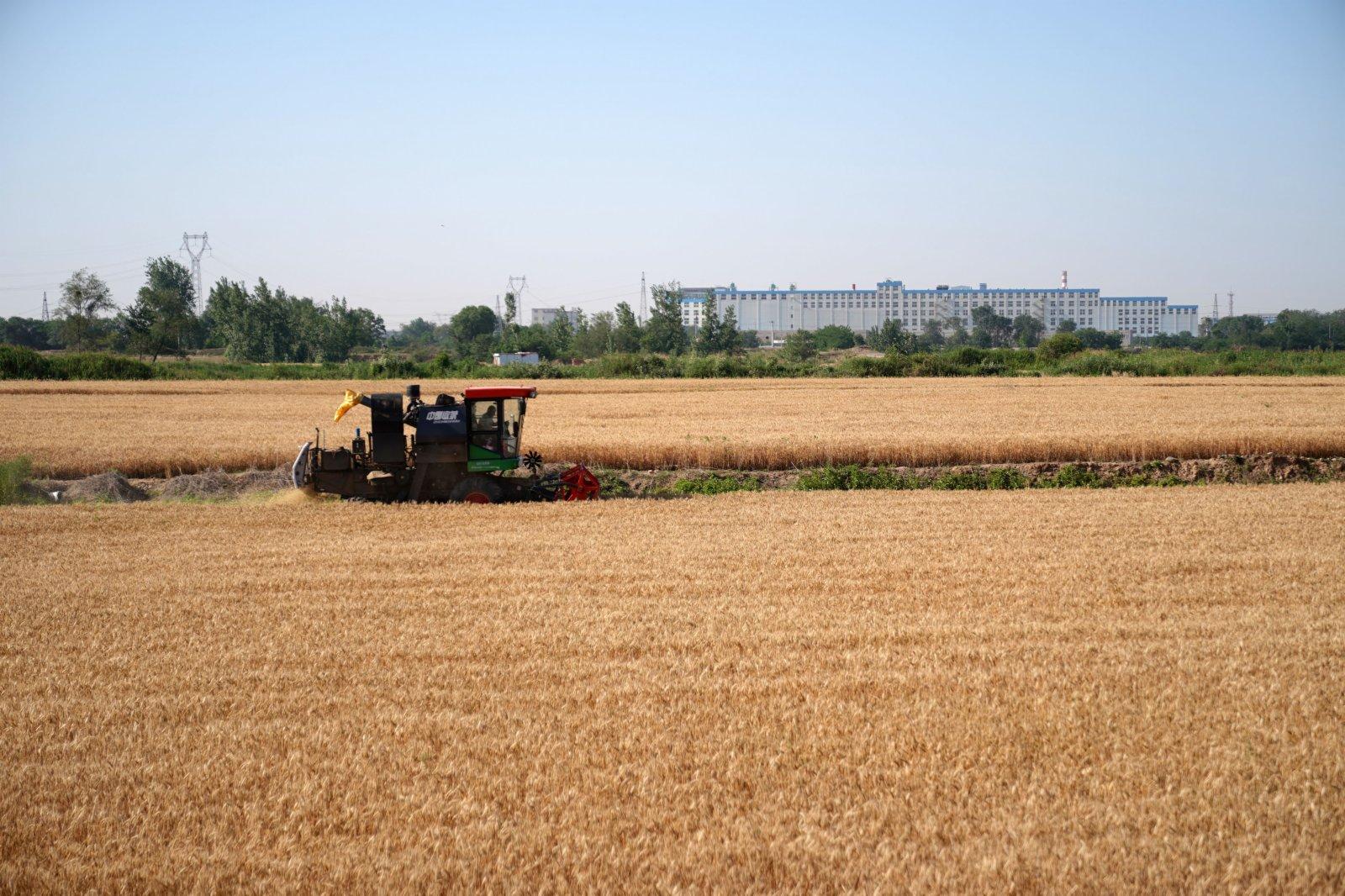 6月6日,農機手操作聯合收割機在河北邢台經濟開發區南陽二村的麥田裡收割小麥。